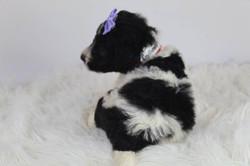 Adorable Poodle