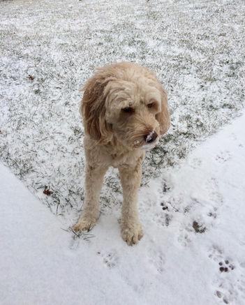 mini goldendoodle in the snow.jpg