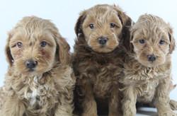 3 Poodles