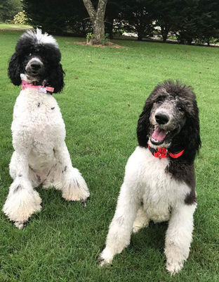 Two Parti Poodles