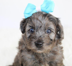 Poodle with Ribbon