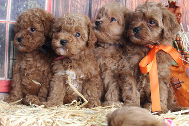 Red Goldendoodle Puppies