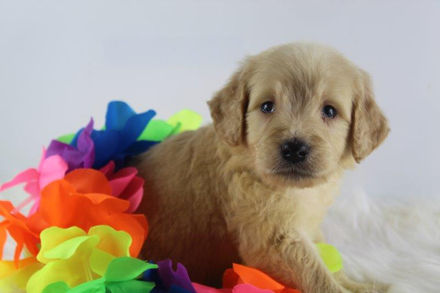 GOMER MALE Goldendoodle PUPPY