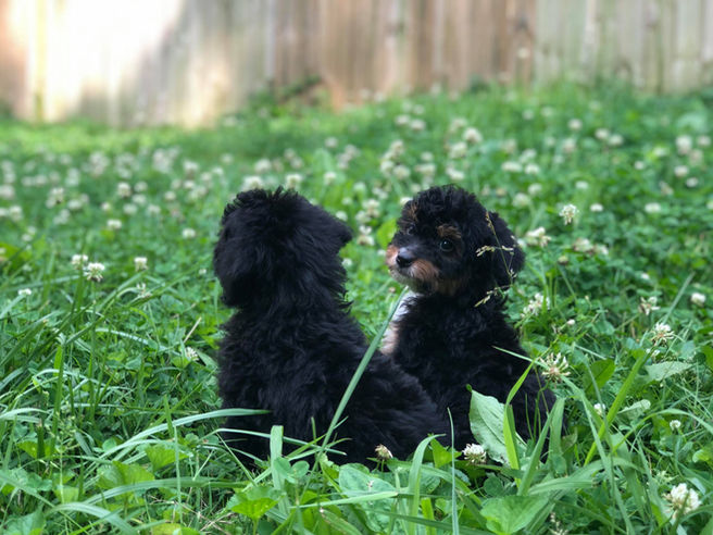 Aussiedoodle Puppis for sale, Aussiedoodle friends, Aussiedoodl puppies near me, About Aussiedoodes, f1b miniausieoodles, Aussiedoole in grass, mini aussiedoodle cuties,
