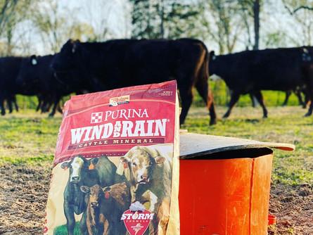 Preparing for Winter Calving Season at Wieczorek Farms