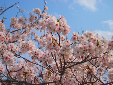 How are cherry blossoms like legacy giving?