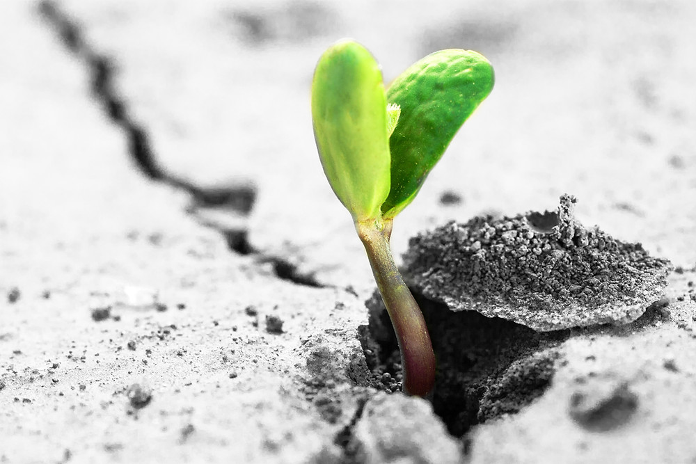 A seedling sprouting out of the ground