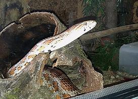 Kornnatter Saphira