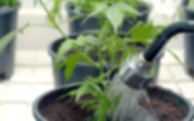 watering-cannabis-2.jpg
