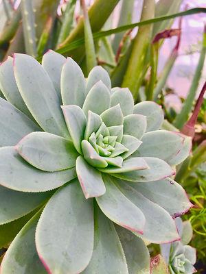 Succulent 2.jpeg