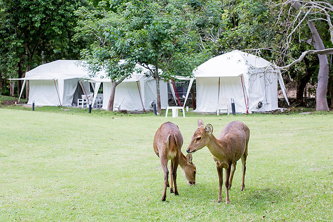 Two Deer In Front of White Tent
