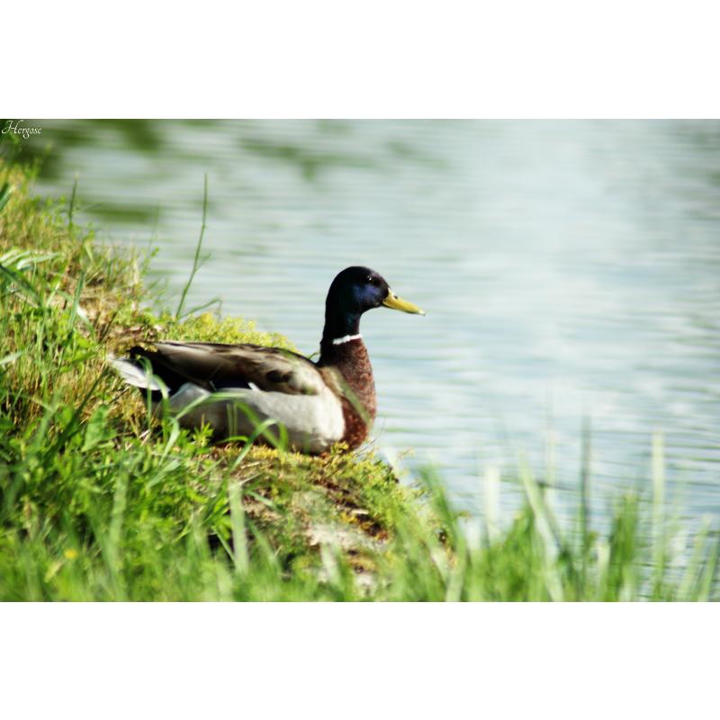 Canard au bord du Canal