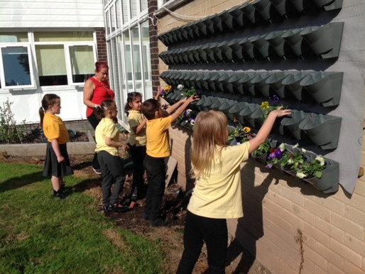 Y2 (Badgers) have been gardening and have potted up plants for the our living wall.