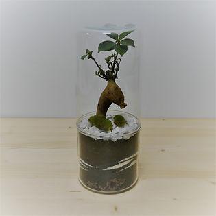 terrarium de plante cylindrique épuré avec ficus ginseng