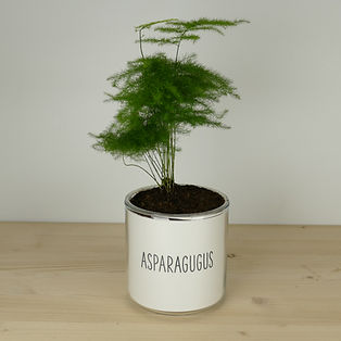 Pot pour plante asparagugus