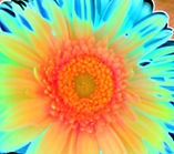 Gerbera-multicolore-lumiere.jpg