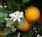 oranger fleur et fruit.jpg