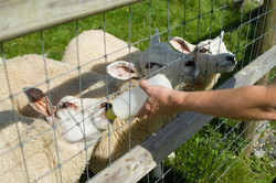 FARM_BOTTLE_FEEDING_THE_LAMBS_