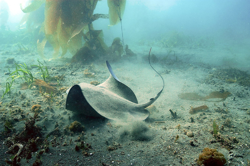At the murky seafloor, a ray flaps its wings among the kelp