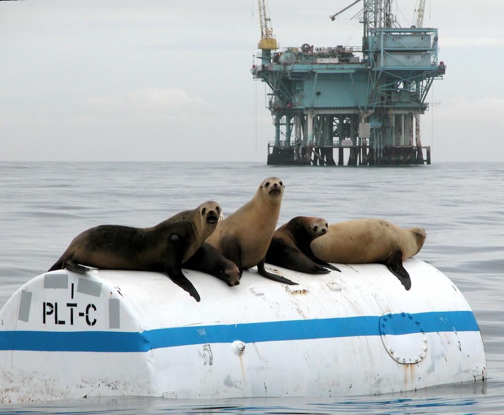 Four sea lions lounge on a floating platform, in front of a massive oil drilling platform