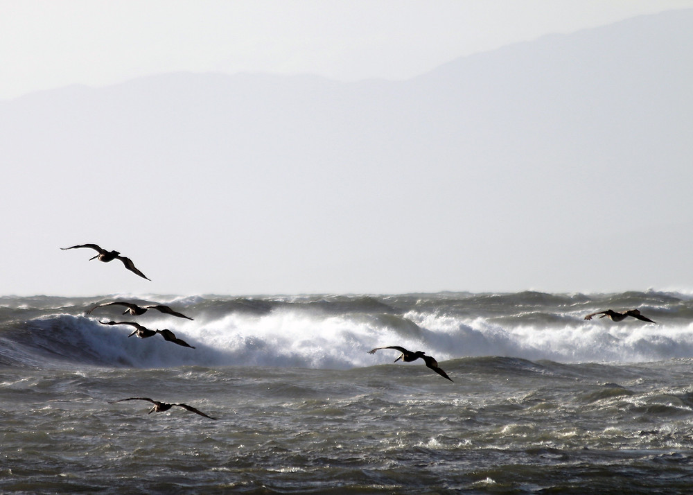 Pelicans soar in formation before the crashing waves