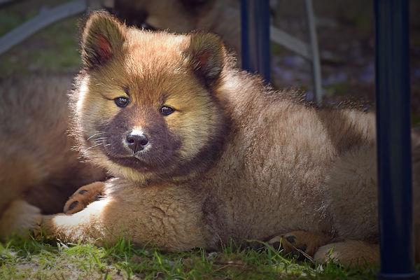 Red Eurasier puppy