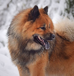 Red Eurasier male in snow
