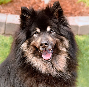 Black and tan Eurasier female
