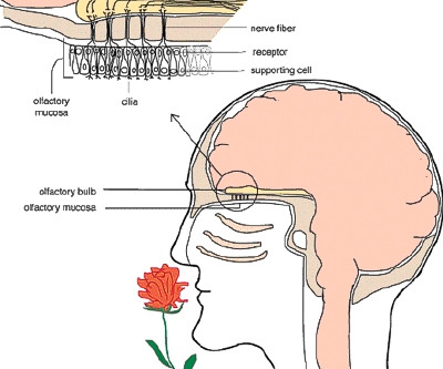 How Aromatherapy works - part 2 - The Limbic System