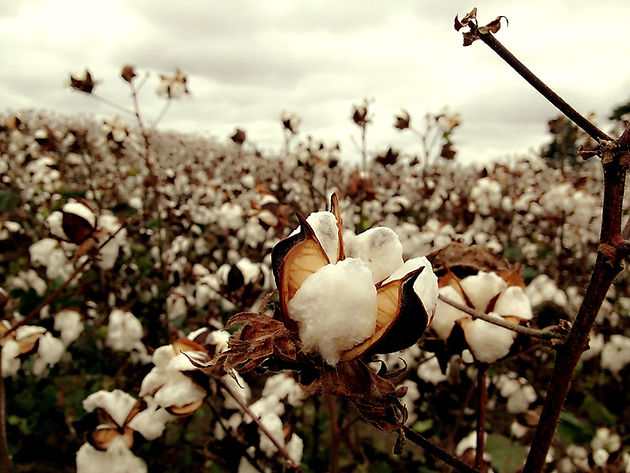 cotton-field-174687.jpg