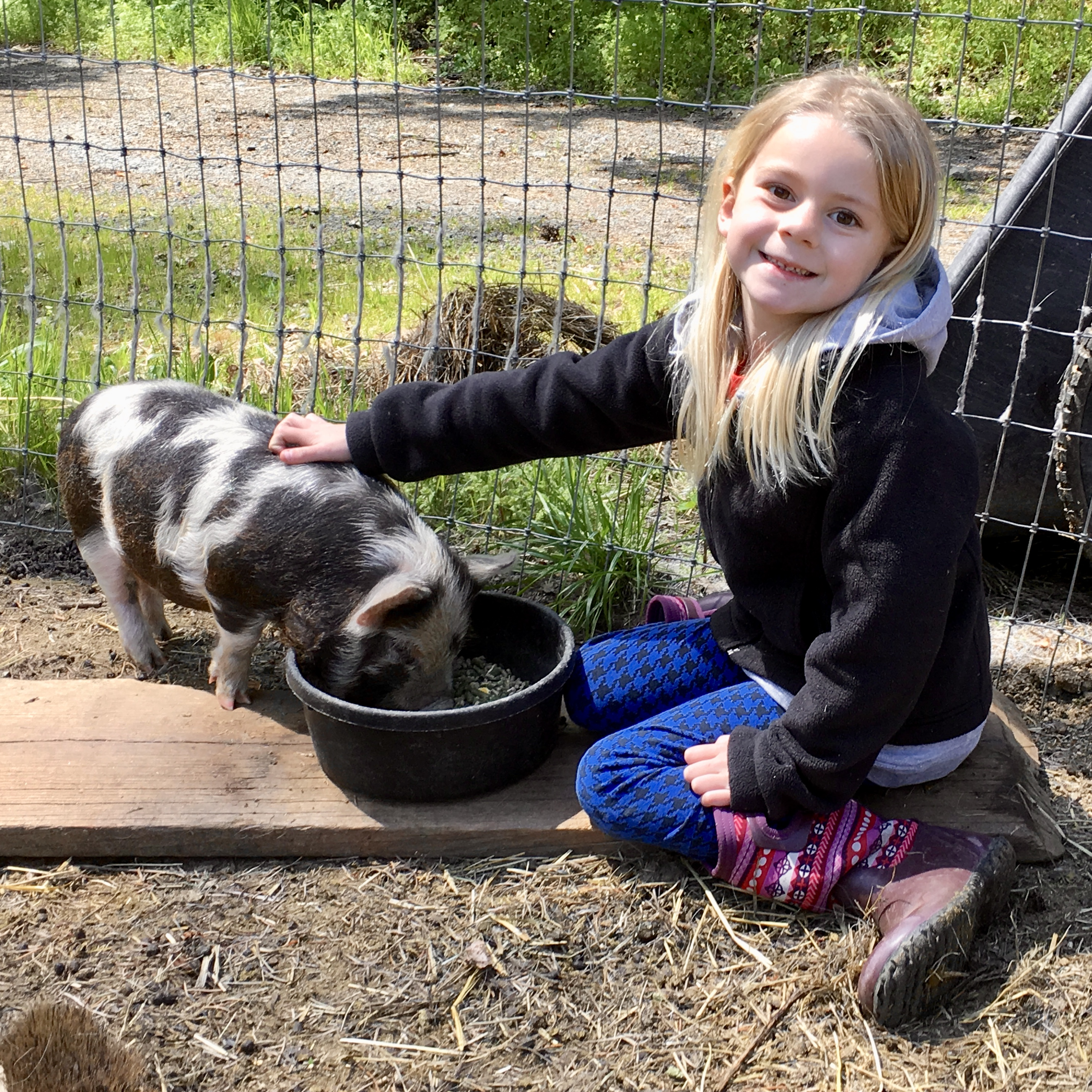 Pigs make wonderful hobby farm companions