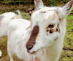 Beautiful Nigerian Dwarf Goats