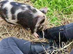 Kunekune pigs are wonderful homestead companions