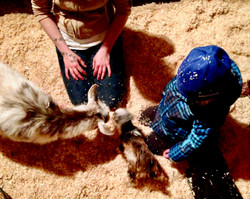 Birthing/kidding and caring for newborn goats