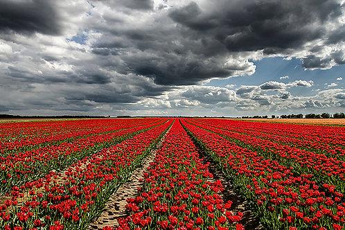 Tulips Field Fine Art Giclee Print