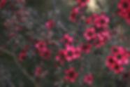 Pink Shrub