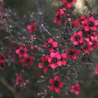 ピンク低木