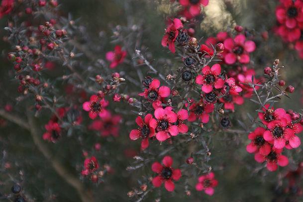 rosa Strauch