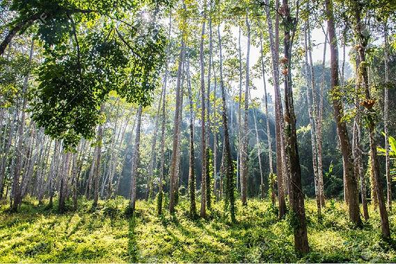 Thai Forest.jpg