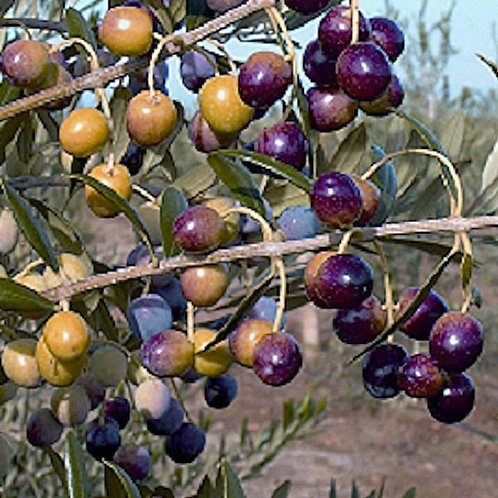 Arbequina EVOO (Chile)