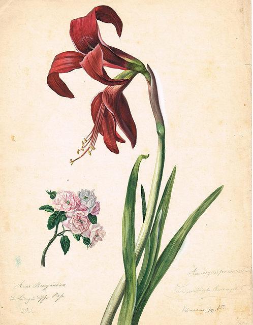 Amaryllis Formosissima – Rosa Burgondica