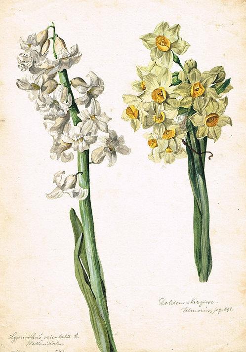 Dolden Narzisse – Hyacinthus Orientalis