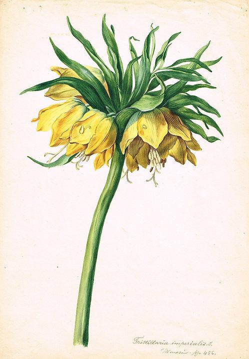 Frittillaria Imperialis