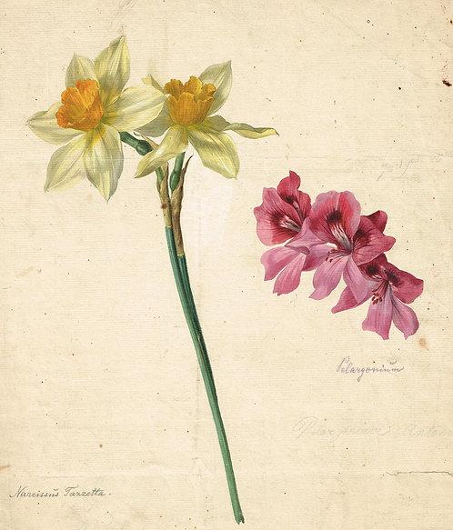 Narcissus Tazetta Pelargonium
