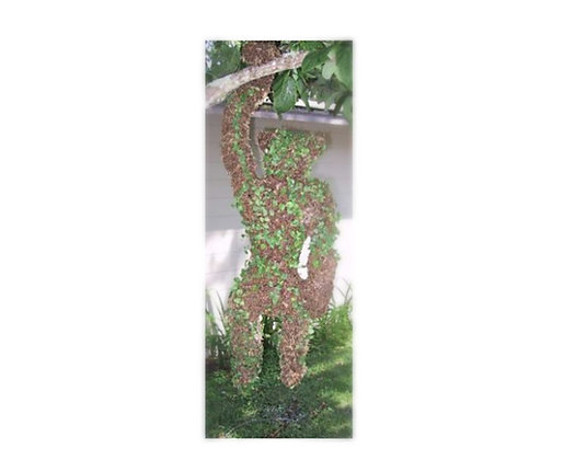 Large Hanging Monkey topiary planted; front view hanging from tree branch.