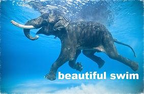 beautiful swim - elephants swimming