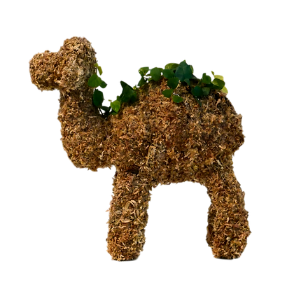Small Camel topiary planted; side view.