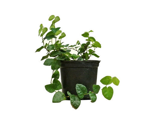 Creeping Fig (Ficus pumila) in small pot