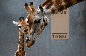 DNA Surprise! Giraffes Are Four Species, Not One