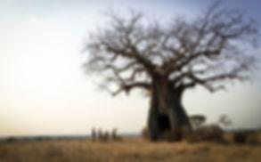 Mgeni Safaris_baobab Ruaha Tanzania.jpg